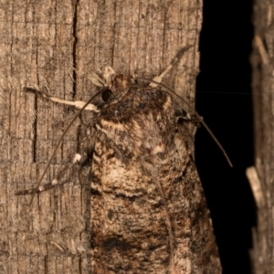 Agrotis porphyricollis at Melba, ACT - 13 Oct 2020