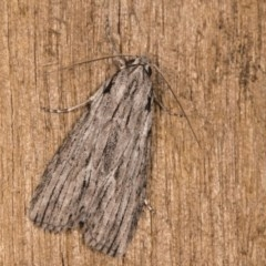 Chlenias banksiaria group (A Geometer moth) at Melba, ACT - 13 Oct 2020 by kasiaaus