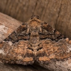 Aporoctena (genus) (A Geometrid moth) at Melba, ACT - 13 Oct 2020 by kasiaaus