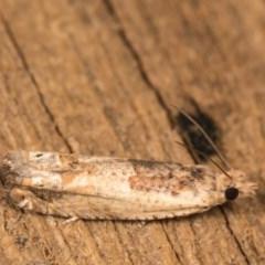 Crocidosema plebejana (Cotton Tipworm Moth) at Melba, ACT - 13 Oct 2020 by kasiaaus