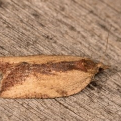Epiphyas sp. (genus) (A Tortrid moth) at Melba, ACT - 13 Oct 2020 by kasiaaus