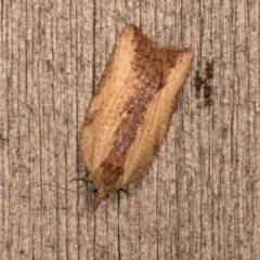 Epiphyas sp. (genus) at Melba, ACT - 13 Oct 2020