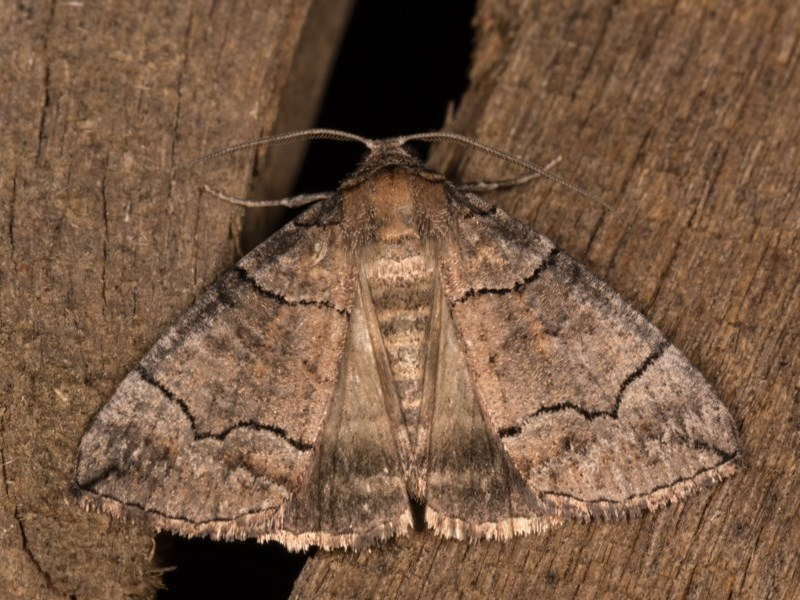 Dysbatus undescribed species at Melba, ACT - 13 Oct 2020