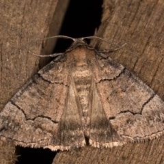 Dysbatus undescribed species (A Line-moth) at Melba, ACT - 13 Oct 2020 by kasiaaus