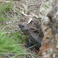 Egernia cunninghami (Cunningham's Skink) at Mount Ainslie - 19 Oct 2020 by WalterEgo