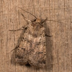 Agrotis porphyricollis (Variable Cutworm) at Melba, ACT - 13 Oct 2020 by kasiaaus