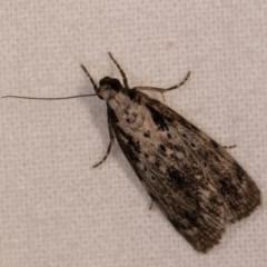 Digama marmorea (An Erebid moth) at Melba, ACT - 13 Oct 2020 by kasiaaus