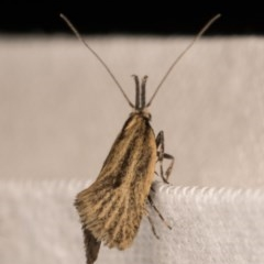 Thema protogramma (A concealer moth) at Melba, ACT - 13 Oct 2020 by kasiaaus