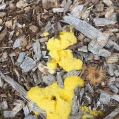 Fuligo septica (Scrambled egg slime mould) at Hackett, ACT - 17 Oct 2020 by WalterEgo