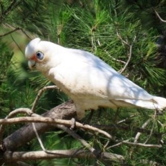 Cacatua sanguinea (Little Corella) at National Zoo and Aquarium - 19 Oct 2020 by RodDeb
