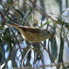 Acanthiza pusilla (Brown Thornbill) at Molonglo Valley, ACT - 19 Oct 2020 by RodDeb