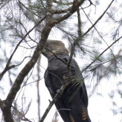 Calyptorhynchus lathami (Glossy Black-Cockatoo) at Wingello - 17 Oct 2020 by Aussiegall