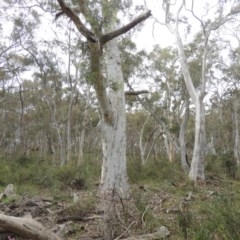 Eucalyptus rossii (Inland Scribbly Gum) at Gungaderra Grasslands - 5 Oct 2020 by michaelb