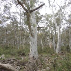 Eucalyptus rossii at Gungaderra Grasslands - 5 Oct 2020