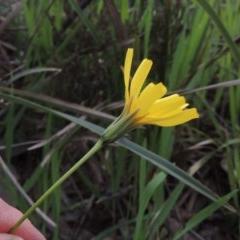 Microseris walteri (Murnong, Yam Daisy) at Gungaderra Grasslands - 5 Oct 2020 by michaelb