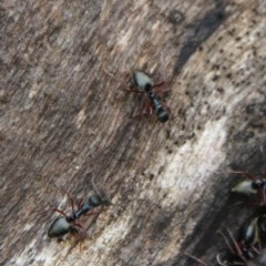 Dolichoderus doriae (A dolly ant) at Budawang, NSW - 19 Oct 2020 by LisaH