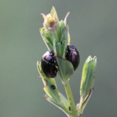 Chrysolina quadrigemina (Greater St Johns Wort beetle) at Hughes Grassy Woodland - 18 Oct 2020 by LisaH