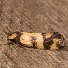 Olbonoma triptycha (Concealer moth) at Melba, ACT - 19 Oct 2020 by kasiaaus