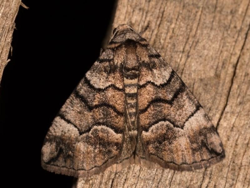 Dysbatus undescribed species at Melba, ACT - 19 Oct 2020