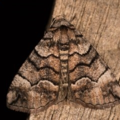 Dysbatus undescribed species (A Line-moth) at Melba, ACT - 19 Oct 2020 by kasiaaus