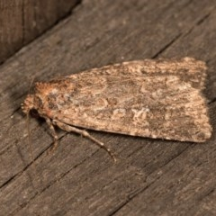 Hypoperigea tonsa (A noctuid moth) at Melba, ACT - 19 Oct 2020 by kasiaaus