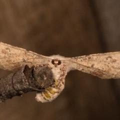 Circopetes obtusata (Grey Twisted Moth) at Melba, ACT - 19 Oct 2020 by kasiaaus