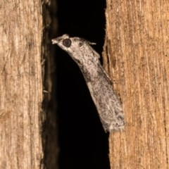 Phycitinae sp. (subfamily) (A snout moth) at Melba, ACT - 19 Oct 2020 by kasiaaus