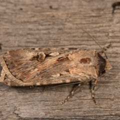 Agrotis munda (Brown Cutworm) at Melba, ACT - 19 Oct 2020 by kasiaaus