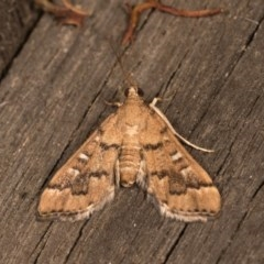 Nacoleia rhoeoalis (A Pyralid Moth) at Melba, ACT - 19 Oct 2020 by kasiaaus