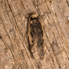 Hoplostega ochroma (A concealer moth) at Melba, ACT - 19 Oct 2020 by kasiaaus