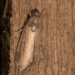 Athetis tenuis (A Noctuid moth) at Melba, ACT - 19 Oct 2020 by kasiaaus
