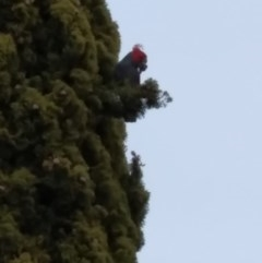 Callocephalon fimbriatum (Gang-Gang Cockatoo) at Albury - 13 Aug 2020 by LiamG