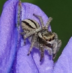 Hypoblemum scutulatum (A jumping spider) at Hughes, ACT - 20 Oct 2020 by Ct1000