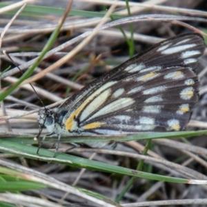 Belenois java at Namadgi National Park - 13 Oct 2020