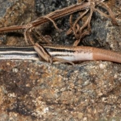 Ctenotus taeniolatus (Copper-tailed Skink) at ANBG - 20 Oct 2020 by Roger