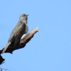 Cacomantis variolosus (Brush Cuckoo) at Kambah Pool - 20 Oct 2020 by Liam.m