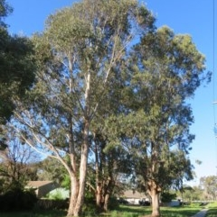 Eucalyptus globulus subsp. bicostata (Southern Blue Gum, Eurabbie) at Flynn, ACT - 19 Oct 2020 by Christine