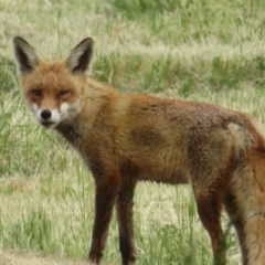 Vulpes vulpes (Red Fox) at Jerrabomberra Wetlands - 19 Oct 2020 by Christine