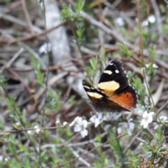 Vanessa itea (Yellow Admiral) at Dryandra St Woodland - 20 Oct 2020 by ConBoekel