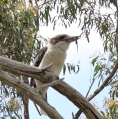 Dacelo novaeguineae (Laughing Kookaburra) at Dryandra St Woodland - 20 Oct 2020 by ConBoekel
