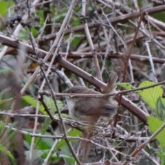 Malurus cyaneus (Superb Fairywren) at Dryandra St Woodland - 20 Oct 2020 by ConBoekel