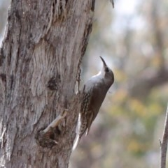 Cormobates leucophaea (White-throated Treecreeper) at Dryandra St Woodland - 20 Oct 2020 by ConBoekel