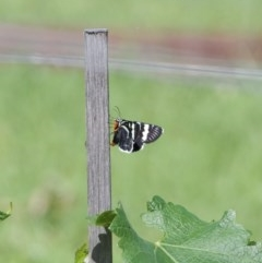 Phalaenoides glycinae (Grapevine Moth) at WI Private Property - 18 Oct 2020 by wendie