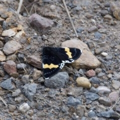 Eutrichopidia latinus (TBC) at WI Private Property - 18 Oct 2020 by wendie