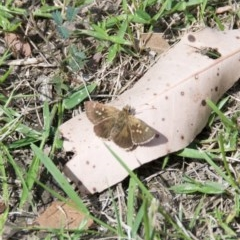 Unidentified Butterfly (TBC) at Termeil, NSW - 18 Oct 2020 by wendie