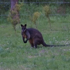 Wallabia bicolor (Swamp Wallaby) at Termeil, NSW - 9 Oct 2020 by wendie
