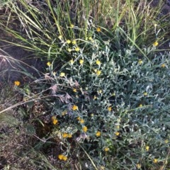 Chrysocephalum apiculatum (Common Everlasting) at Hughes Garran Woodland - 20 Oct 2020 by Tapirlord
