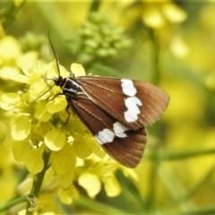 Nyctemera amicus (Senecio or Magpie moth) at Woodstock Nature Reserve - 20 Oct 2020 by JohnBundock