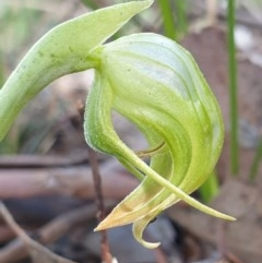 Pterostylis nutans (Nodding greenhood) at Aranda Bushland - 18 Oct 2020 by drakes
