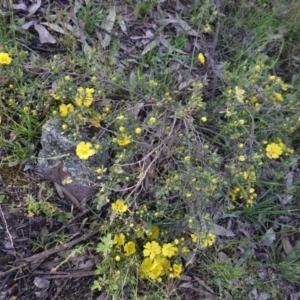 Hibbertia obtusifolia at Federal Golf Course - 20 Oct 2020